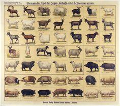 Uhrmann, Dir. Tafel der Ziegen, Schafe, und Schweinerassen / Origin: Denmark /  32 x 36 in (81 x 91 cm) / board of goat, sheep, and pig breeds graser's scientific and agricultural boards    graser's publishing house