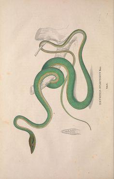 Descriptiones et icones amphibiorum / - Biodiversity Heritage Library
