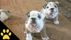 In this bulldog compilation, check out some of our favorite Petsami Bulldogs. We hope you enjoy these cute dogs as much as we do. From puppies to full grown dogs, there is something in this video for bulldog lovers all over. Love My Dog, Puppy Love, Bulldog Puppies, Cute Puppies, Cute Dogs, Cute Gif, Funny Cute, Crazy Funny Videos, Cute Puppy Videos
