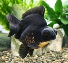 china doll goldfish (it's a short tail version of a black moor with the hump/body of a ryuukin)