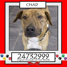 Urgent Animals at Fort Worth Animal Care and Control Page Liked · April 5 · Edited ·    **Fort Worth, TX**CURRENT STATUS: Urgent - can be euthanized at any time**  Reason for URGENT: Heartworm Positive  Animal ID: 24732999