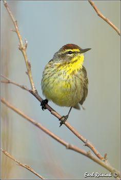 Palm Warbler | Flickr - Photo Sharing!;)❤️
