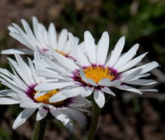 FELICIA-elongata-WHITE-DAISY-FLOWERS-with-MAROON-BAND-Very-Hard-2-Find-Seeds