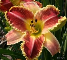 Startle from Oakes Daylilies