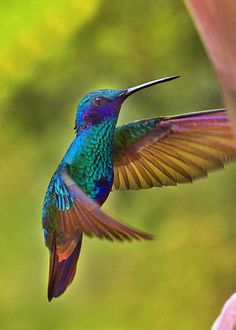 Sparkling Violetear by Al Bourassa