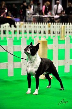 Boston Terrier Italian Blog