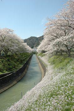 Cherry blossoms in Miyagawa second power station in Mie Prefecture Kitamuro-gun Kihoku town Kiinagashima Ward Miura, Japan