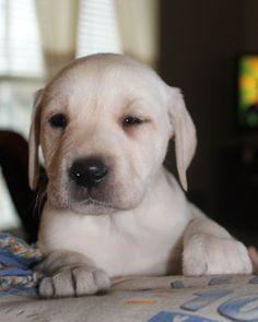 What you looking at? www.diamondmlabradors.com