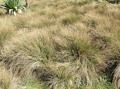 Carex monostachya