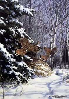 Richard Plasschaert Ruffed Grouse | WildlifePrints.com