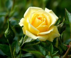 pictures of yellow rose of texas | Pinned by Michelle Foy