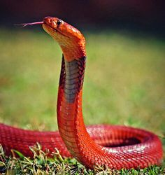 Red Spitting Cobra, isnt he beautiful!