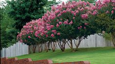 With its blooms and attractive bark, this flowering tree will please the eye year-round.
