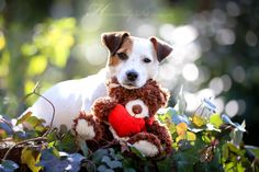 Jack Russell Terrier Sweetness by Heavenly Pet Photography.