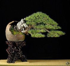 Mauro Stemberger was born in 1978 in Feltre, Italy and works as an architect and Bonsai artist. At the age of he became fascinated about the art of Bonsai and started his passion with the local Bonsai Trees For Sale, Bonsai Tree Care, Bonsai Soil, Bonsai Garden, Pine Bonsai, Succulents Garden, Bonsai Nursery, Tree Carving, Miniature Plants