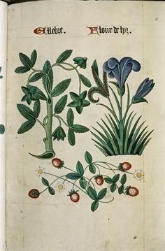 """Hellebore and Iris, Strawberry plant with flowers and fruit, in """"The Tudor Pattern book"""", ca. 1520/30, Ms Ashmole 1504"""