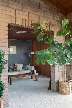 Fig Tree -I love the statement these make in a home.