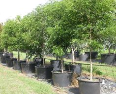 Winter Hill Tree Farm: Evergreen Ash — Fraxinus griffithi. Grows max 6m high 4 wide. Good for built up areas