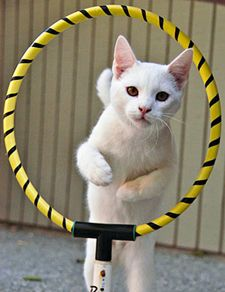 Teaching Cats Tricks- I don't have a cat but did as a child & was never totally convinced that they couldn't be taught tricks.