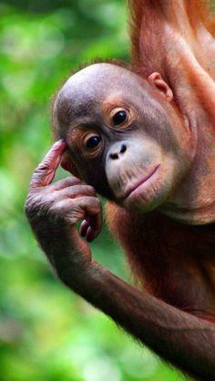 ❀ Glory be to Allâh ❀ Orangutan Monkey, Sumatran Orangutan, Chimpanzee, Orangutans, Monkey Girl, Cute Monkey, List Of Animals, Baby Animals, Animal Species