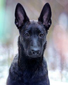 Honey 5 Months Breed ➡️ Dutch Shepherd Dog From @honeythedutchie 🇱🇹 #dutchshepherddog Dutch Shepherd Dog, 5 Months, Labrador Retriever, Honey, Dogs, Animals, Labrador Retrievers, Animales, Animaux
