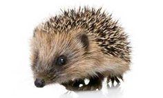 Love hedgehogs