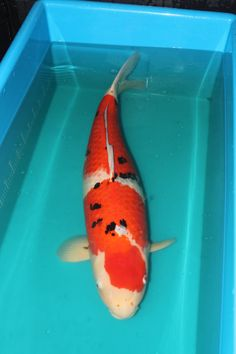 1000 images about huge koi fish for sale on pinterest for Yellow koi fish for sale