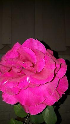 Beautiful rose luto de Juarez.