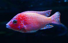 "Aulonocara sp. ""Firefish Dragon Blood"" Firefish Peacock Cichlid"