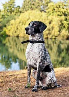 German Shorthaired Pointer | Dog Breeds | Pets Best