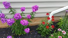Purple Tall Phlox and Hot Paprika Echinacea stunning together!