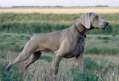 The Weimaraner was developed in Germany for tracking large game, & was named after the sport-loving court of Charles August, Grand Duke of Weimar. Its elegant carriage is universally admired. Weimaraner, Short Haired Dog Breeds, I Love Dogs, Cute Dogs, Hunting Dogs, Working Dogs, Mans Best Friend, Dog Life, Dogs And Puppies