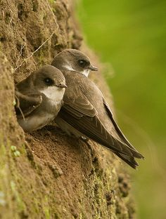 Sand Martin Birds