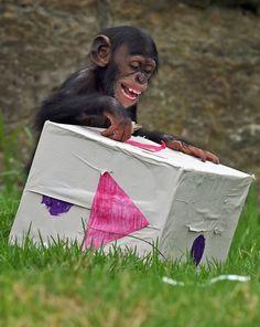 SYDNEY, AUSTRALIA. Nawet szympansiątko wie, że z okazji świąt należy mu się prezent! Jednak nie wie tego, że niespodzianka kryje się w środku, a barwne pudełko to jedynie opakowanie!