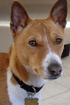 Adopt This Basenji From BRAT. Bolt is a handsome Basenji! At two years old he is very much a Basenji puppy, full of curiosity and interested in everything! Within minutes of arrival in his BRAT foster home, he was into the box of dog toys, selecting his favorite ones. And of course he loves to be the center of attention!