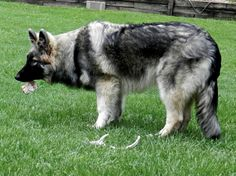 Shaylee 6 month old Shiloh Shepherd Annie/Ca$h