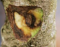 Aquilaria tree showing the infected darker part - agarwood by lamcs52