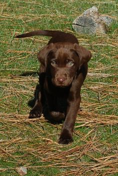 MMKennels.com chocolate Lab pup (one of Gracie's pups)