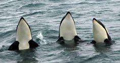 #Sea #Ocean #Animals www.pegasebuzz.com | Orca, orque, killer whale, black fish. |www.ShareMySea.fr
