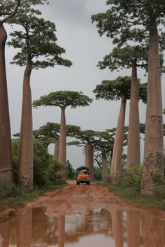 Baobab trees.......Kunjan this one is for you!!! Hahaha