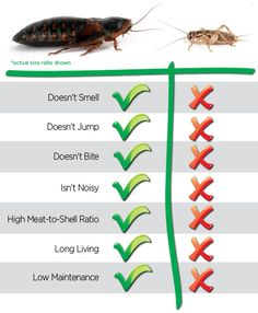 Thinking about buying some dubia roaches tips/ or advice?