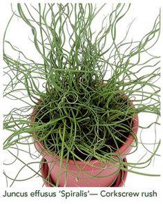 "Corkscrew grass: Juncus effusus ""Spiralis"" - Unusual house plant #plantwishlist"