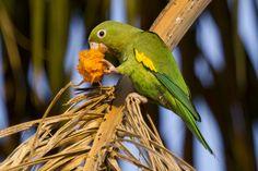 Yellow-chevroned Parakeet (Periquito de encontro amarelo)   da Fabio Rage