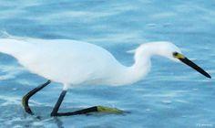 Soft White Walk - Bird Art Painting by Sharon Cummings - Soft White Walk - Bird Art Fine Art Prints and Posters for Sale #ART #SharonCummings #soft #birds
