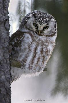 Tengmalms Owl, Helmipöllö, Aegolius funereus (aegfun1801130267fi.jpg) picture