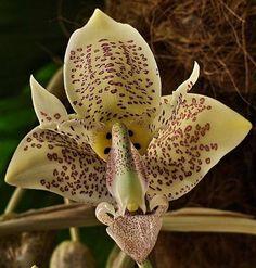 Orquídea Stanhopea gibbosa