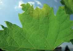 Cum împiedicăm viespile să vandalizeze via și livada Plant Leaves, Home And Garden, Organic, Plants, Paradis, Gardening, Agriculture, Life, Lawn And Garden