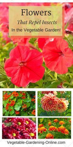 companion planting flowers in vegetable garden #Vegetablegardenbasics