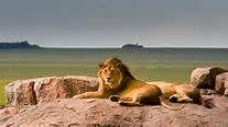 mooie leeuw