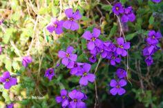 Frühlingsblüher # rotviolette Blüten # Farbenreich